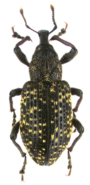 редкий жук фото
